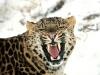 Mitt siste bilde: Leopard