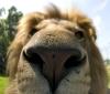 Mitt siste bilde: Løve