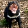 Mitt siste bilde: Tasmansk djevel
