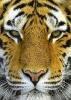 Mitt siste bilde: Tiger