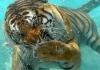 Mitt siste bilde: Tiger under vann