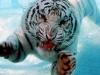Mitt siste bilde: Hvit tiger under vann