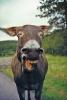 Esel som ler høyt