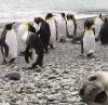 Pingviner og en morsom sel