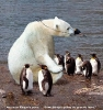 Isbjørn i forkledning