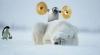 Pingvin som vekker en isbjørn